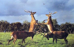 4 stags